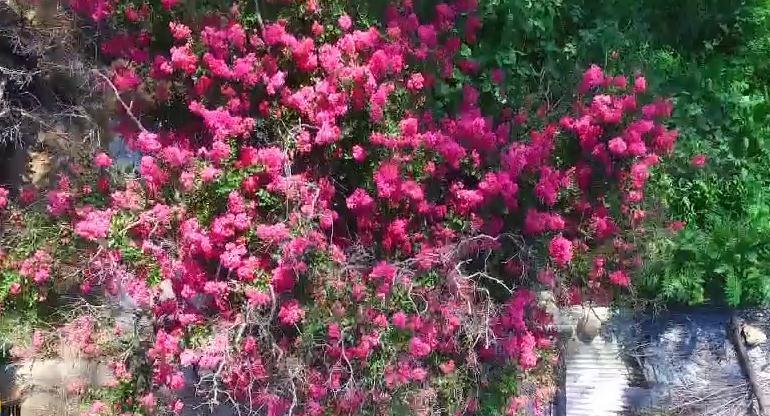 这就是山东丨宁静村落繁花如织 烟台牟平这颗紫薇树美了400年