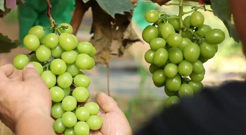 我们村不一样   葡萄种植年利润90万...这样的瓜果小镇我爱了!