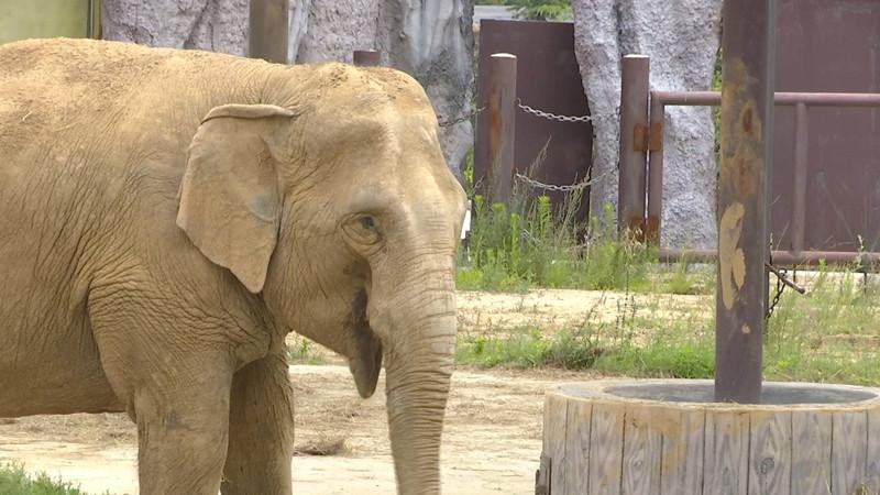 """116秒  青岛森林野生动物世界亚洲象被成功认养 取名""""利利""""!"""