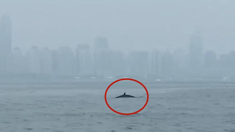 50秒|稀奇!青岛近海有鲸鱼出没 两次跃出海面 或为虎头鲸