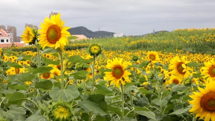 39秒|徜徉百畝向日葵花海 來威海張村鎮盡享美麗鄉村幸福生活