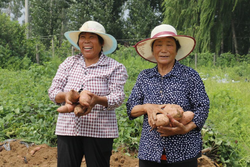 130秒丨作物轮作换茬新模式!济南市钢城区的花田里种出了发财薯 棚内棚外双丰收