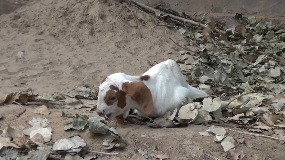 64秒丨济南羊坚强!7腿8脚也要顽强生存