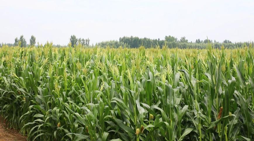 邹城:加强雨后田间管理 促玉米丰产丰收