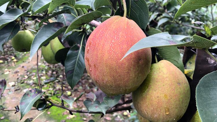 57秒丨皮薄、肉脆!滨州阳信万亩梨园景区媚梨成熟可以采摘啦