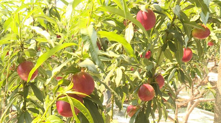 25秒丨做大做强油桃产业,日照果庄镇年产油桃8000余万斤,产值3.5亿多元