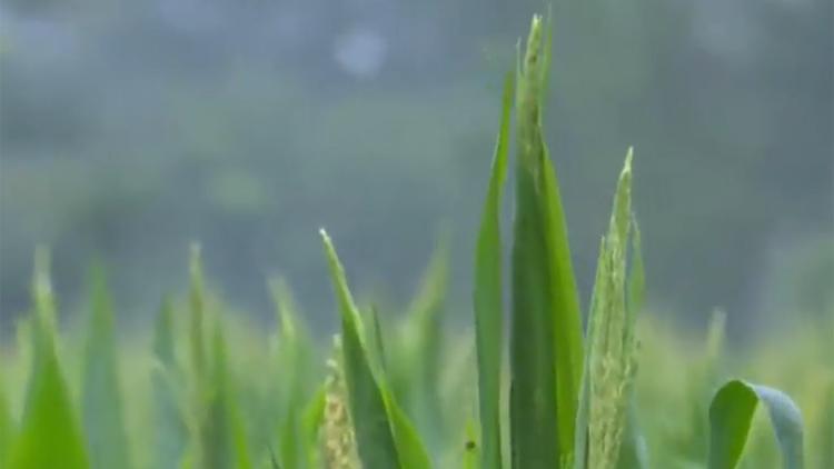 """38秒丨滨州无棣:及时雨给农作物""""解渴"""" 农技专家支招促生产"""