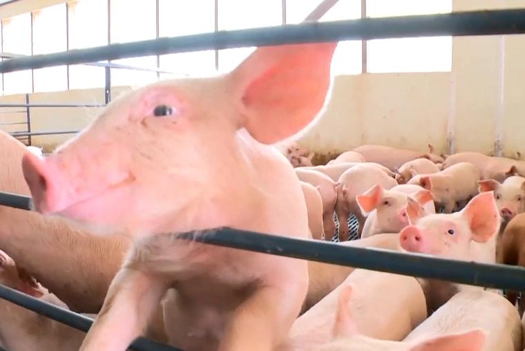消费旺季来临,猪价还会再涨吗? 省畜牧兽医局:猪价大幅上涨可能性不大