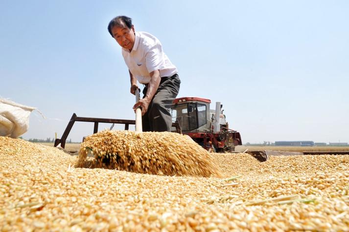 权威发布|山东粮食商品库存725万吨 可满足全省城乡居民一年口粮