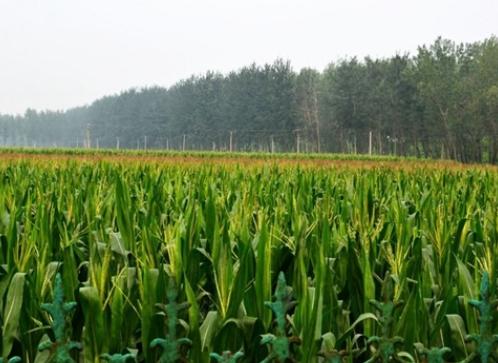 涝灾后作物如何管理?聊城农业农村局送上技术意见