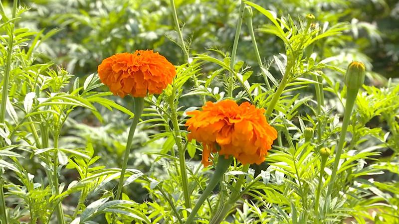 77秒|带动就业 增加收入 莱西万寿菊开出致富花