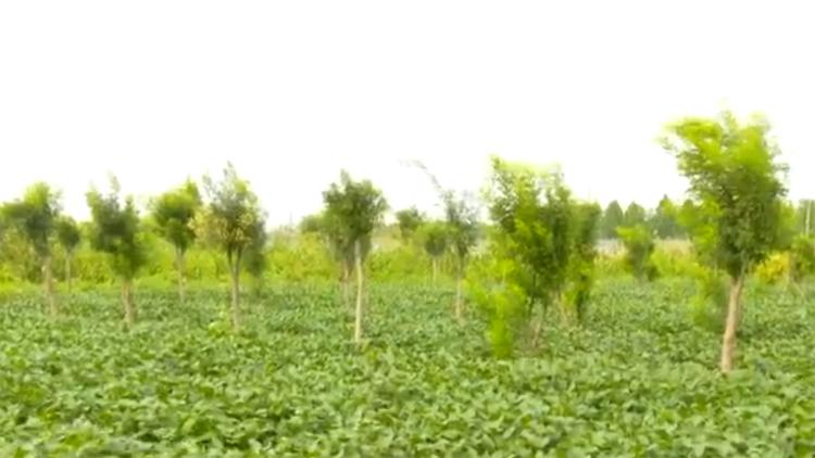 58秒丨滨州博兴:环城林带改善生态 林下经济助力增收