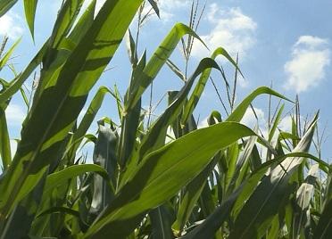 山东省内首个试点!济阳区整建制玉米收入险,让农民收入更保障