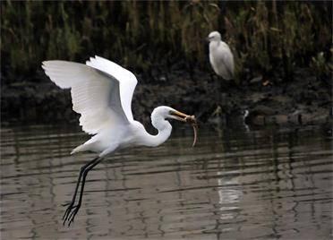 组图|威海荣成桑沟湾湿地公园:白鹭舞蹁跹