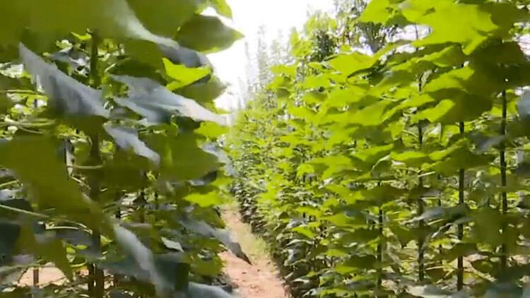 42秒丨滨州阳信:助力绿色产业发展 楸木顺势生长