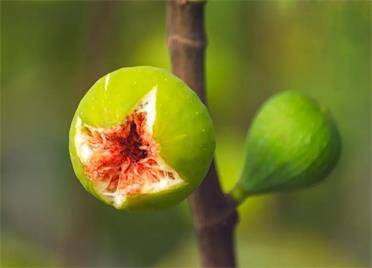 组图丨个儿大又饱满!绿油油的无花果给威海果农带来丰收的希望
