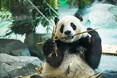 """4只""""国宝""""大熊猫安家德州 泉城欧乐堡动物王国欢迎您"""
