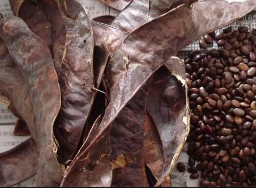 淄博:收皂角路上看到皂角树顺手偷摘200多斤 还未偷完就被抓