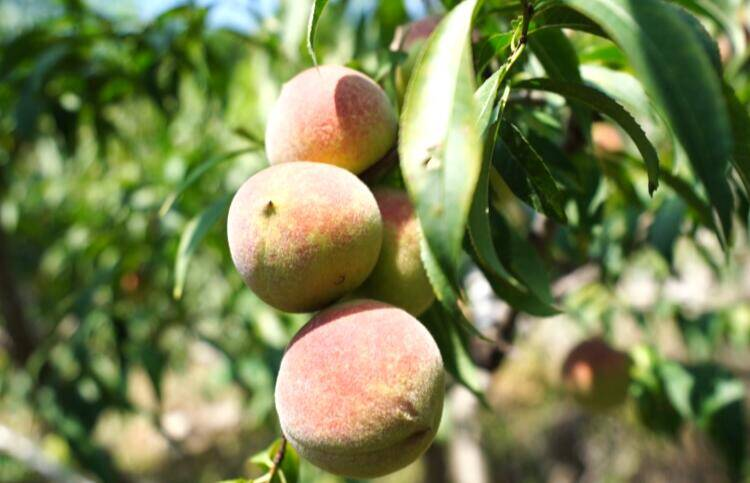 36秒 青州:万亩蜜桃喜丰收 果农乐开怀