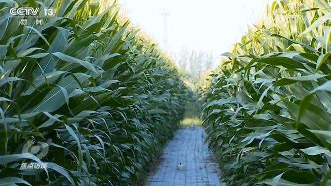 央视《焦点访谈》聚焦德州齐河:农技专家线上培训指导,高产高效示范区80万亩粮食丰收在望