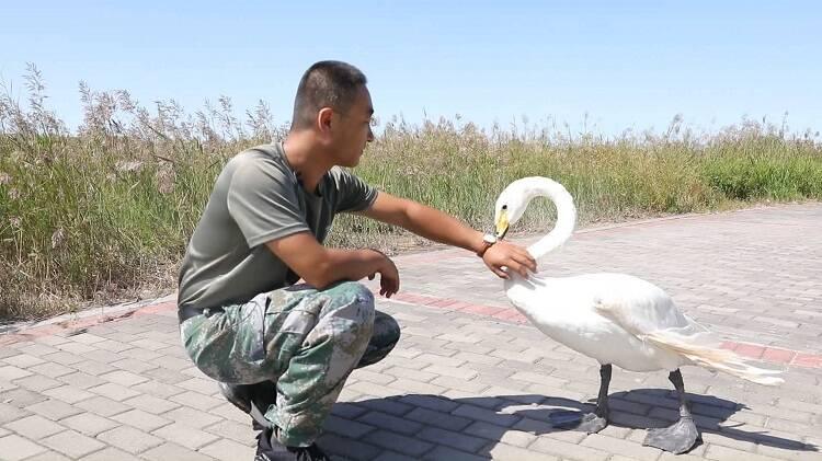 中国梦·黄河情|与天鹅共舞!黄河三角洲鸟类驯养师与受伤天鹅的十三载情谊