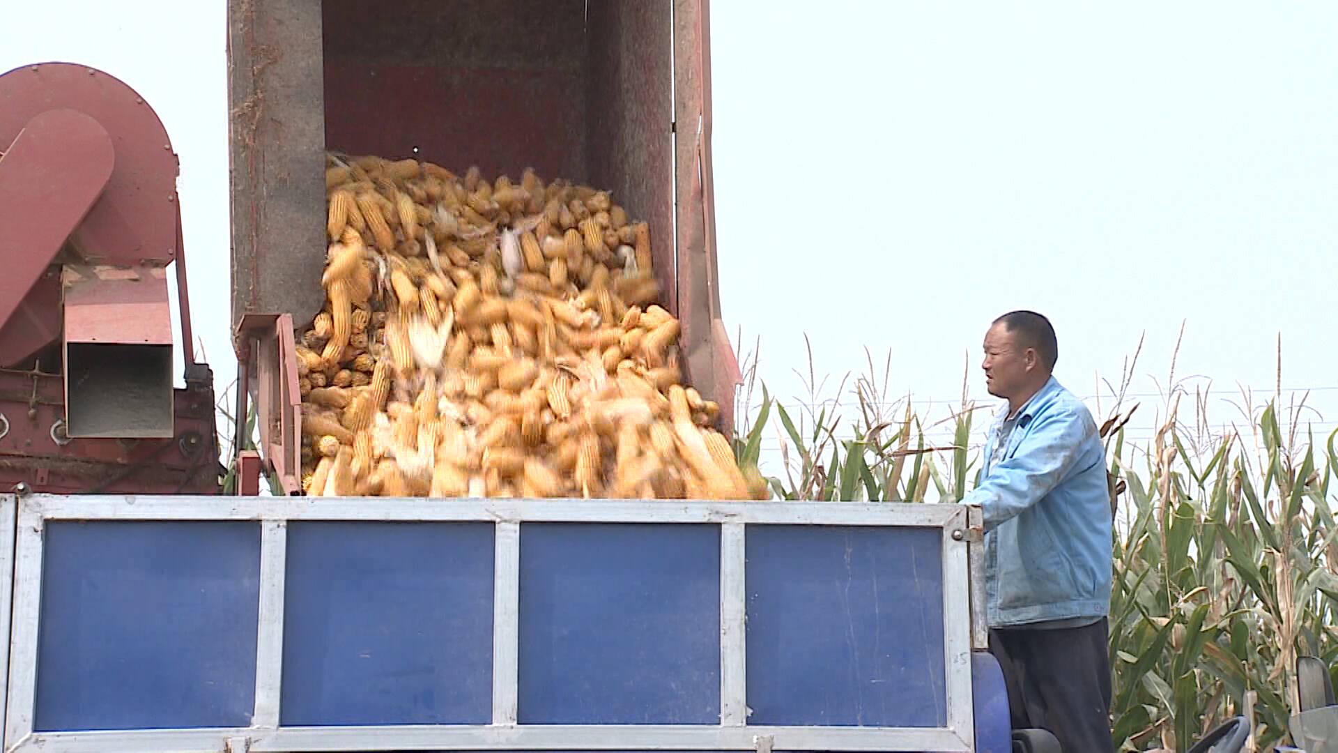 48秒|丰收啦!菏泽成武58万亩玉米进入大面积收割阶段