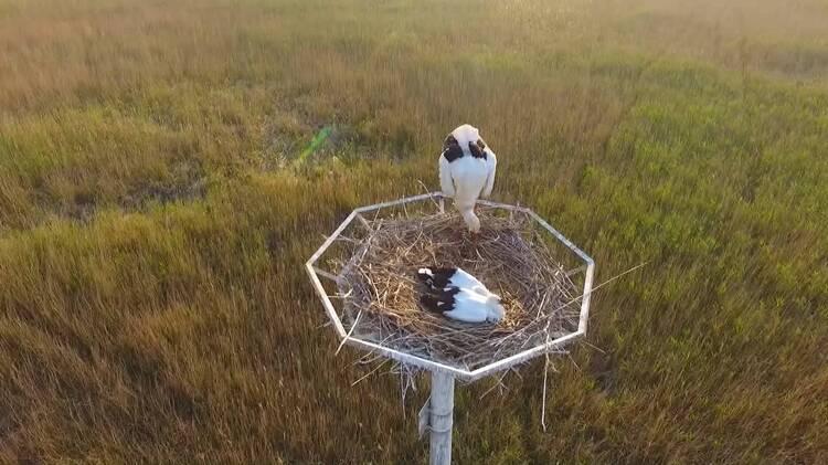 中国梦·黄河情|黄河三角洲保护区:人工筑巢,给世界濒危鸟类一个安稳的家