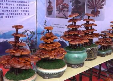 45秒|中国(冠县)第三届灵芝文化节开幕!灵芝产品齐亮相让你大开眼界