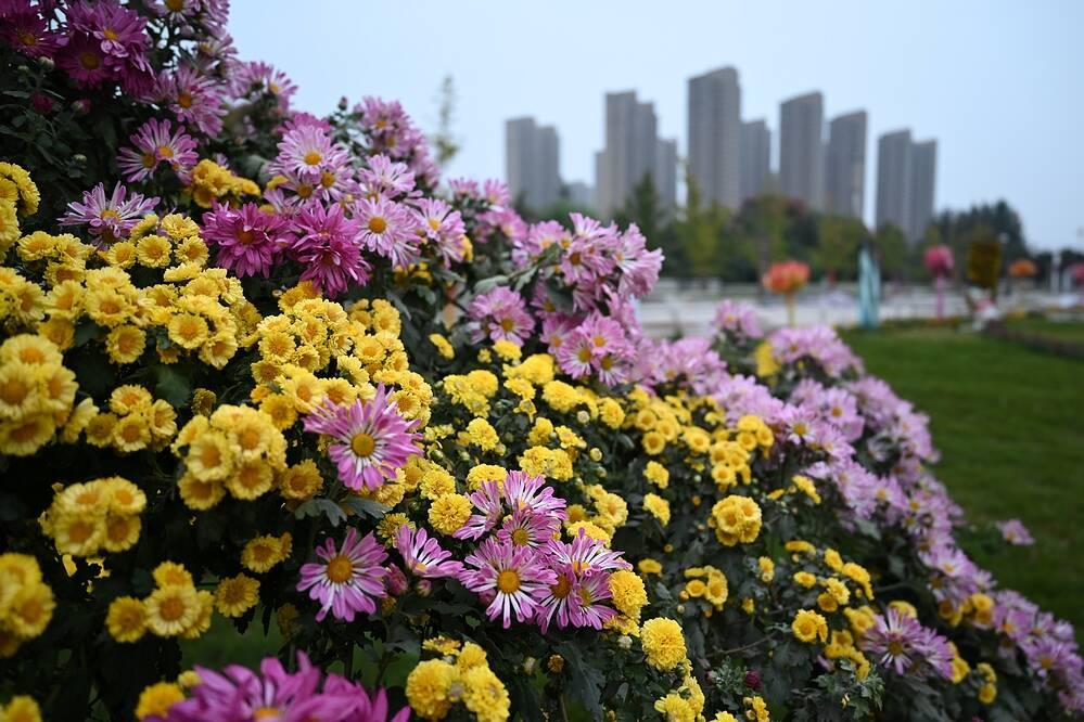 金秋遇见花仙子!菏泽曹州牡丹园菊花艺术节即将开幕