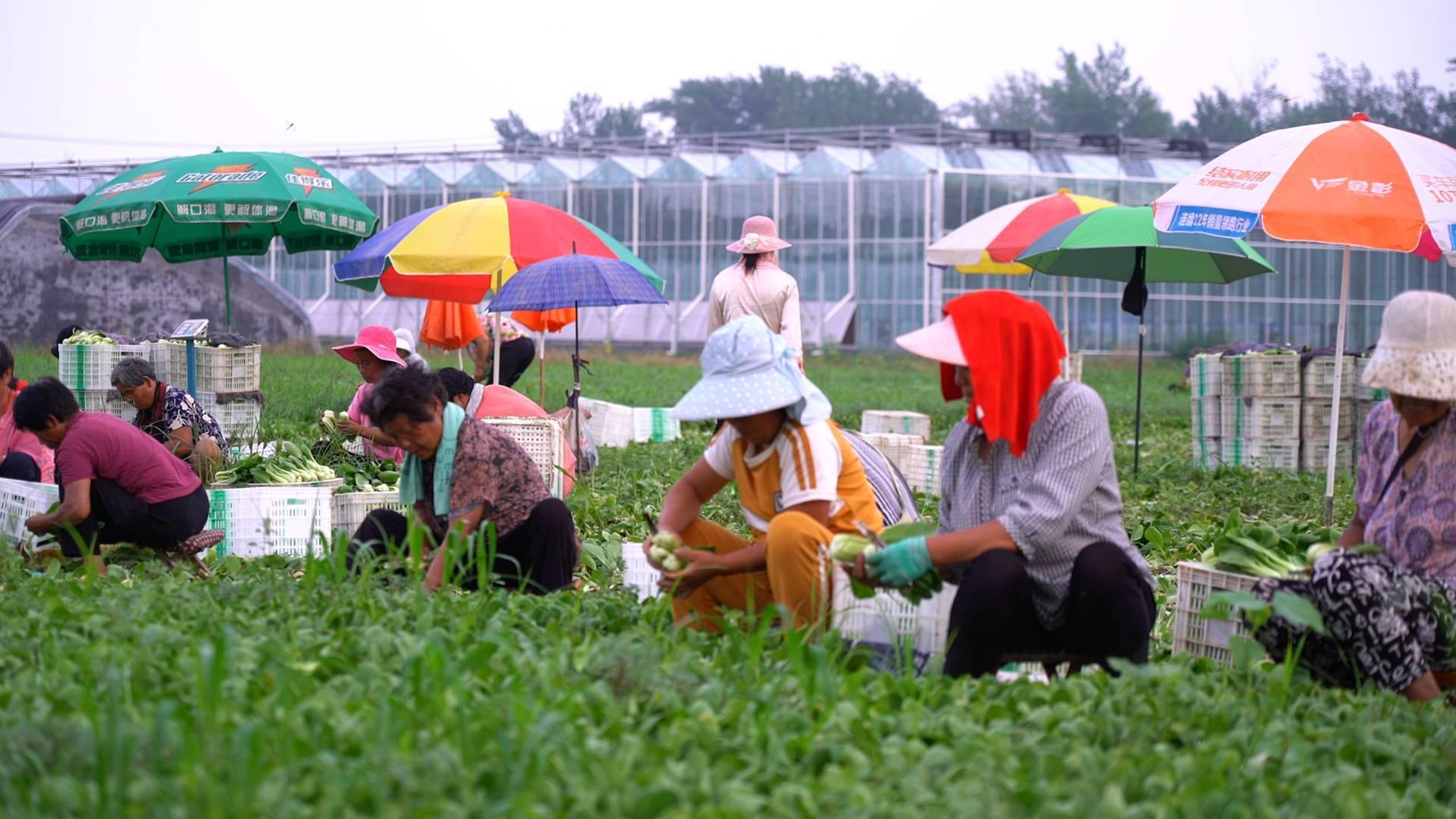 幸福的起点丨菏泽安庄村把小油菜卖到南方去,省外农民也来打工!