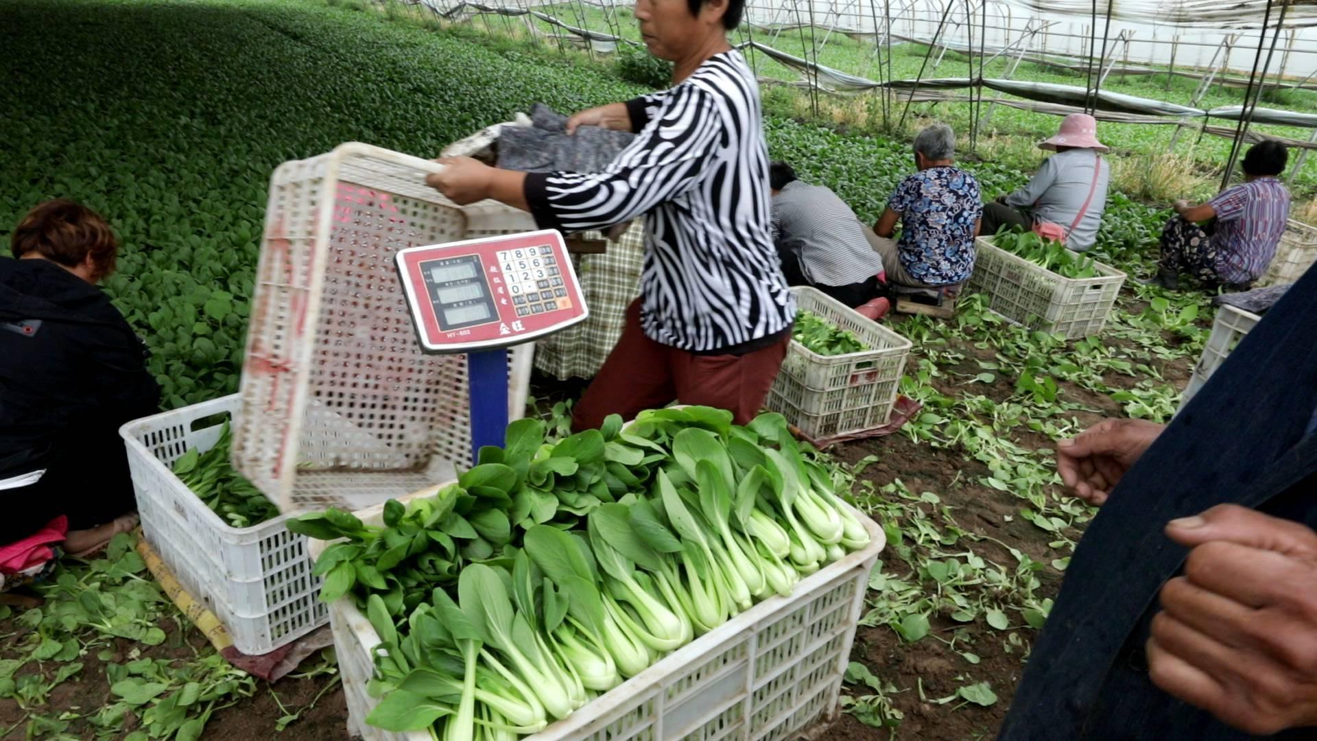 幸福的起点丨种油菜一天能卖好几万?!在大棚打工的村民着急了:不打工了,来家种菜