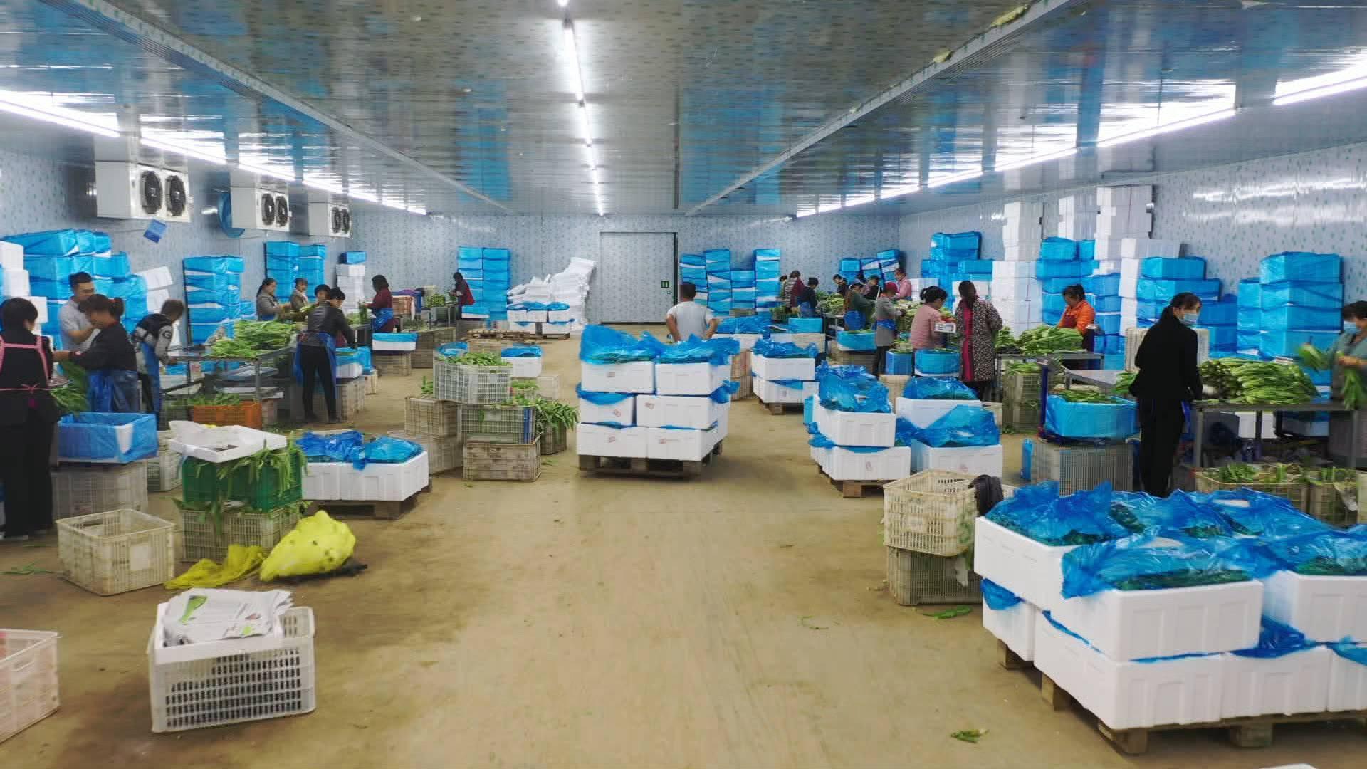 """幸福的起点丨蔬菜大棚从0到年经济效益3亿,菏泽邵庄镇的小油菜还有个""""大计划"""""""