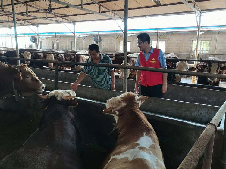 潍坊安丘:金融活水浇灌肉牛养殖产业赢得大发展