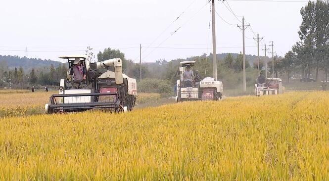 31秒丨日照全市3.2万亩水稻进入收获期