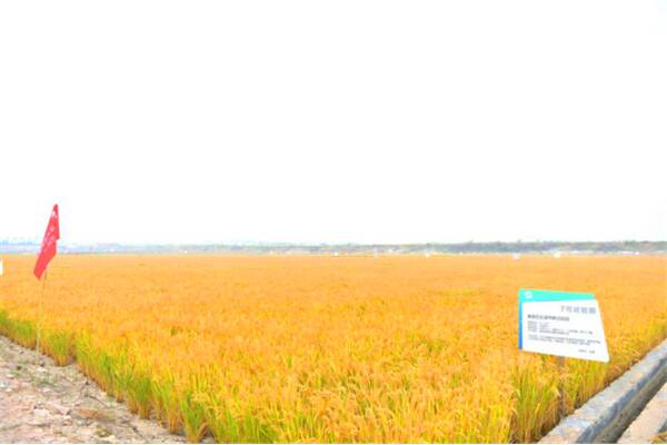 亩均超千斤!全国10万亩海水稻10地完成产量测评