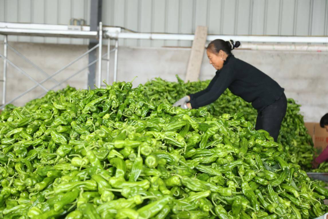 金秋十月,蔬果飘香!枣庄峄城阴平镇蔬菜种植助力村民奔小康