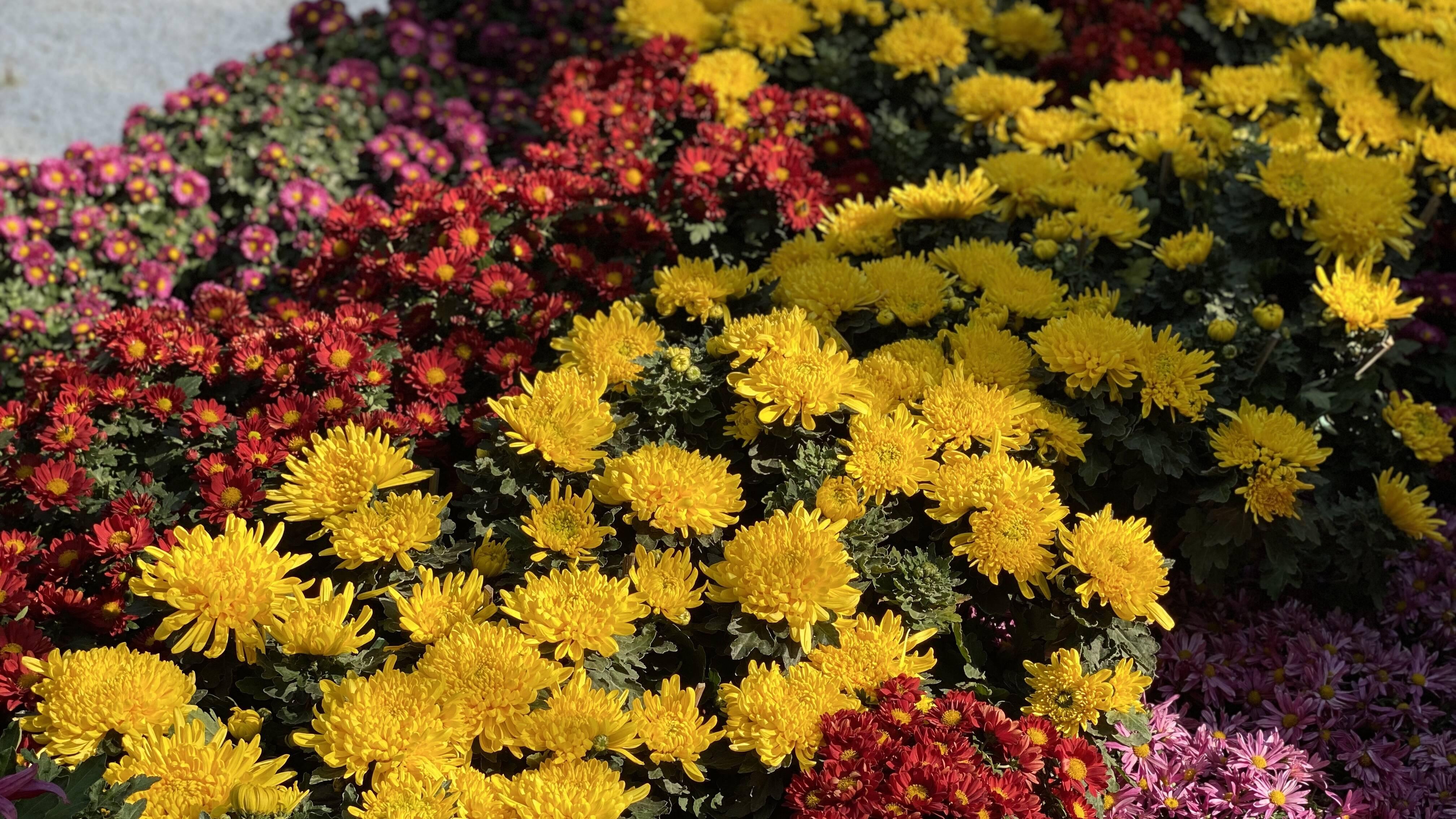Vlog丨三种风情 九大展项 八万多盆菊花...趵突泉菊展喜迎八方来客