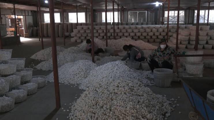 23秒丨日照高兴镇:秋季蚕茧喜获丰收 全年共收购鲜茧14.74万公斤