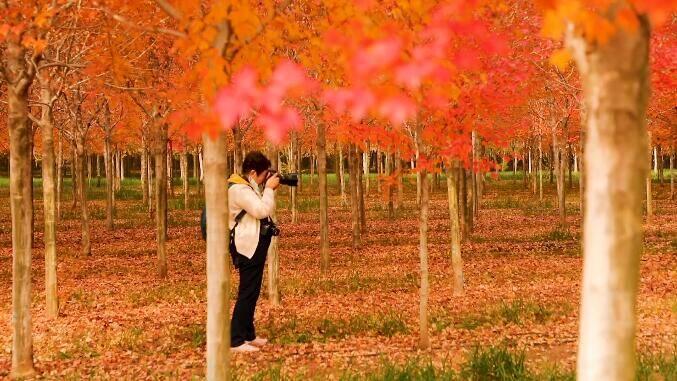36秒丨金秋十月 日照五莲3500亩红枫迎来最佳观赏期