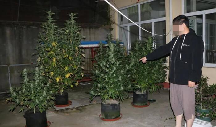 日照岚山:男子阳台种植大麻 不仅自己吸食还贩卖获利