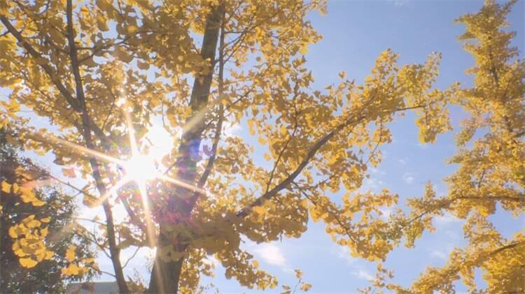 烟台龙口:银杏树叶黄 景色惹人醉