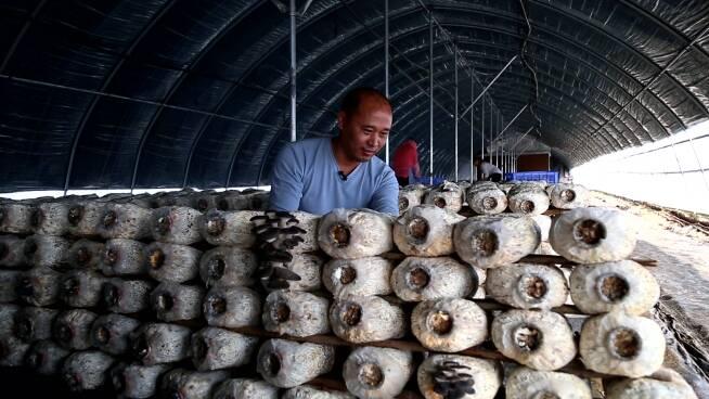 53秒丨小蘑菇撬动乡村振兴大产业 东营广饶推动现代农业提质增效