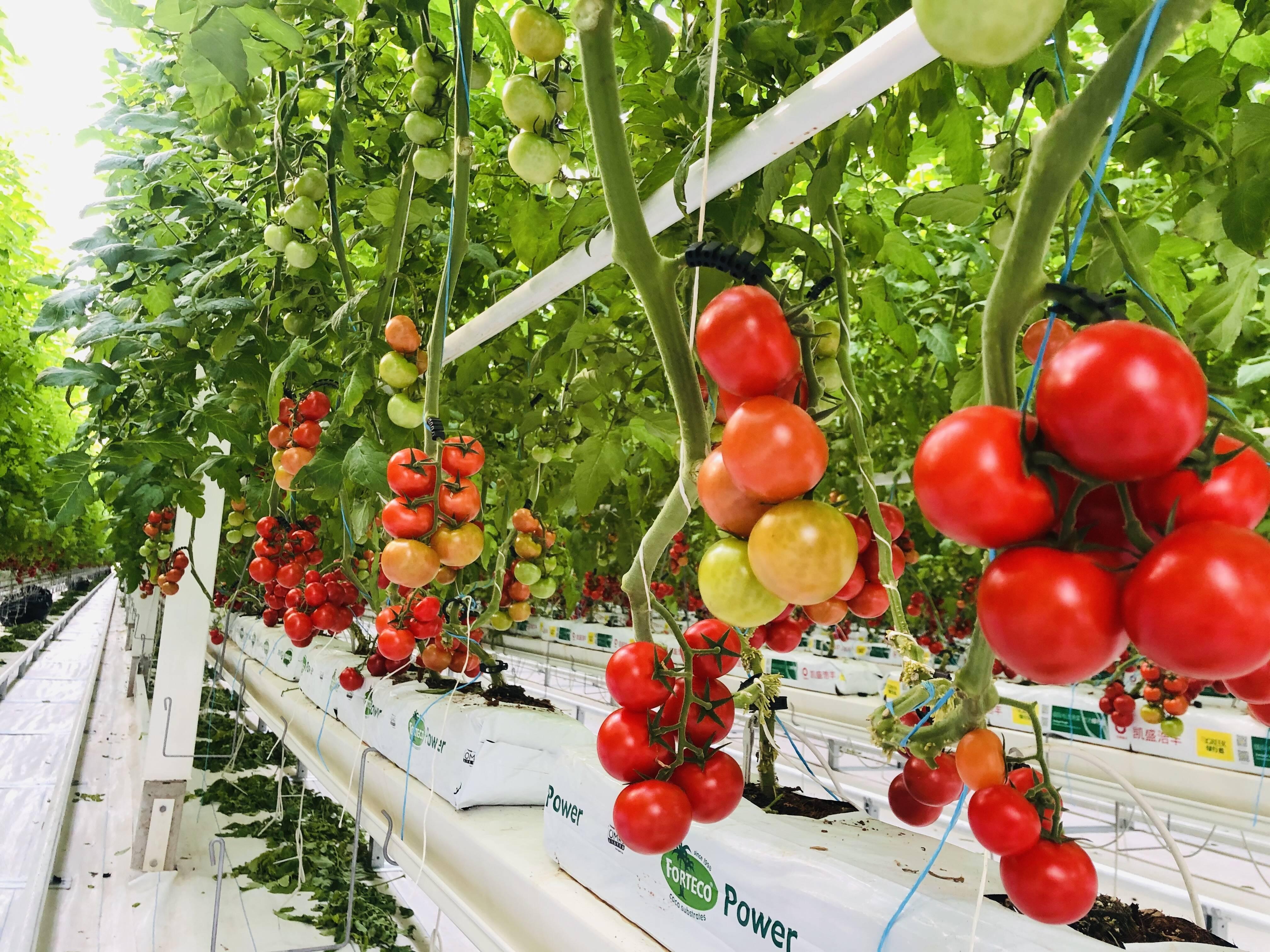 寒潮天气即将来袭,蔬菜如何管理?德州权威专家这份管理技术意见请收好