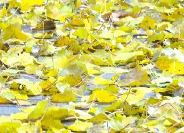 45秒丨一场冬雨一场寒,树叶飘然落下,德州市区遍地金黄