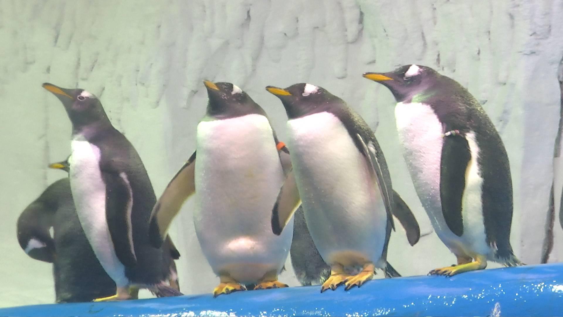 """""""8岁的我很喜欢山东""""! 一起来听听远道而来的巴布亚企鹅的独白"""