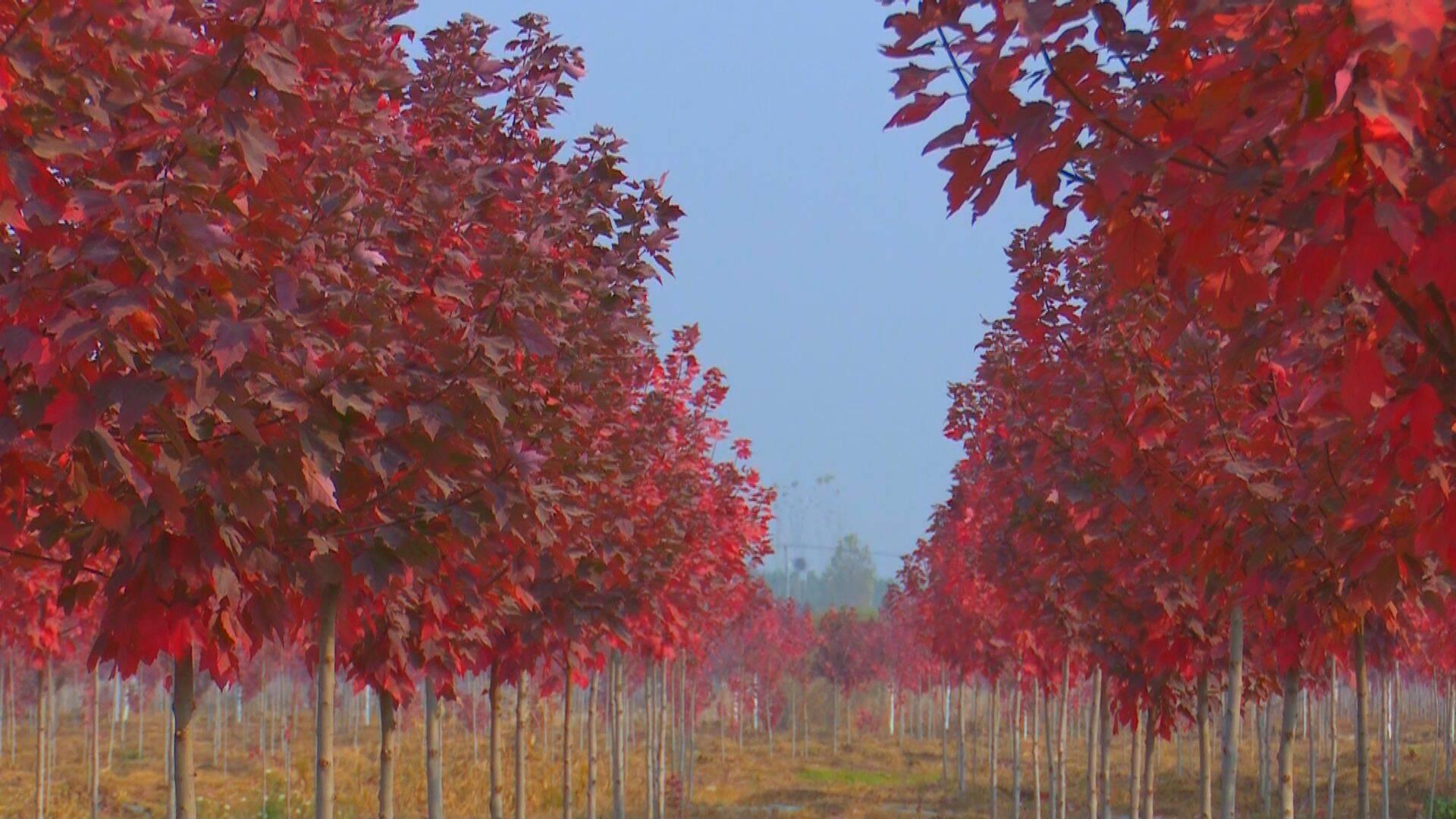 冬来枫叶红 兰陵千亩红枫进入红叶期