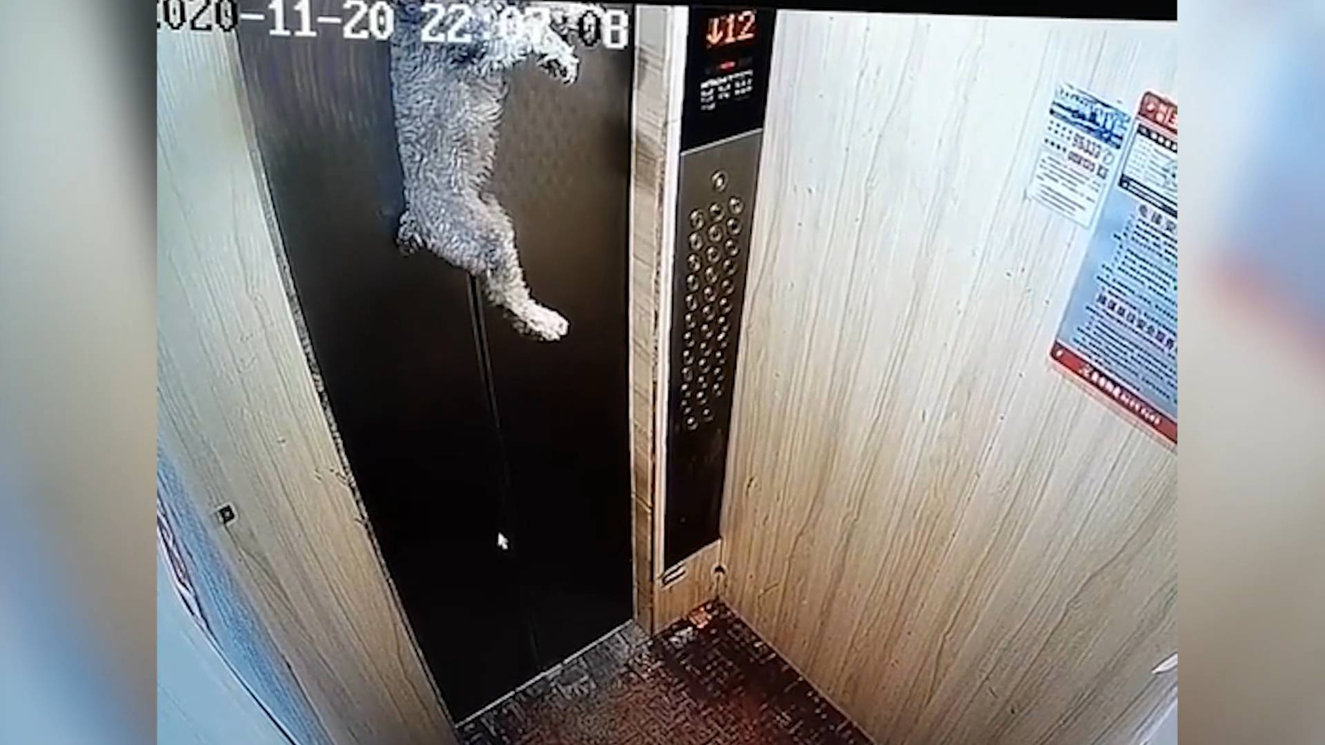 25秒丨惊险!狗狗提前进电梯被牵引绳卡住 倒挂电梯门十余秒