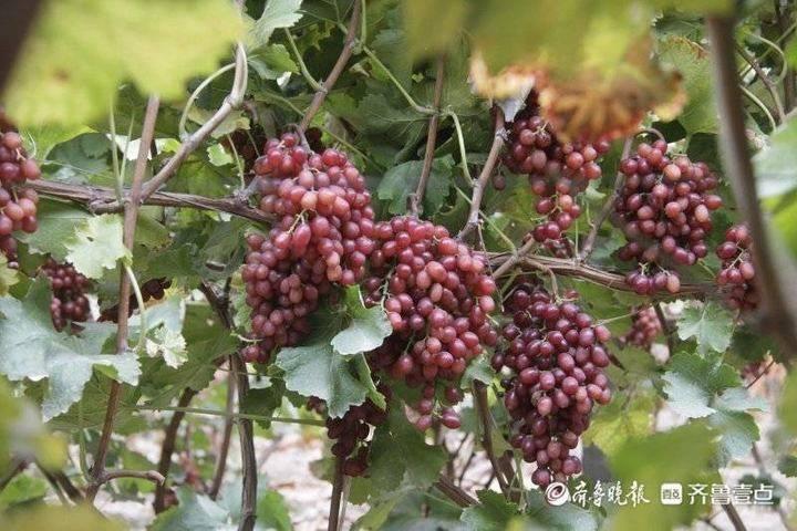 黄三角农高区冬韵家庭农场:果香惹人醉