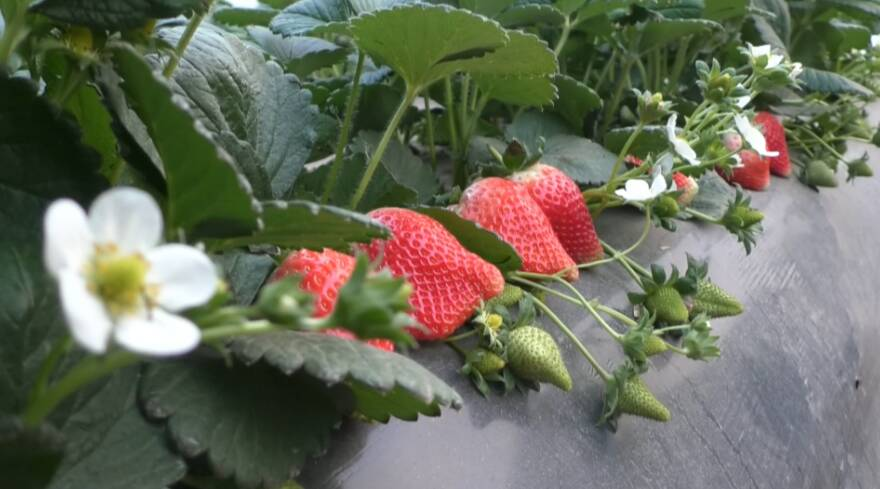 35秒丨草莓红了,人笑了!枣庄市中区扶贫大棚的草莓熟了
