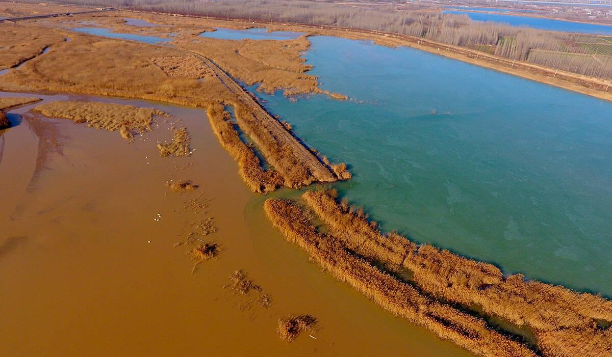 影像力|一半绿色一半黄色 济南黄河北岸连续14年成为白天鹅越冬的家